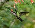 Kolibřík kubánský (Chlorostilbon ricordii)