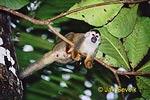 Kotul rudohřbetý (Saimiri oerstedii)