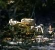 Krab (Cardisoma guanhumi)