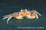 Krab (Crab sp.)