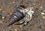 Krab poustevník (Paguroidea)