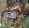 Krajta mřížkovaná (Python retuculatus)