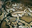 Krajta tmavá (Python molurus bivittatus)