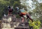 Krocan paví (Meleagris ocellata)