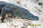 Krokodíl bahenný (Crocodylus palustris)