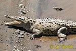 Krokodíl dlhohlavý (Crocodylus acutus)