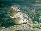 Krokodýl kubánský (Crocodylus rhombifer)
