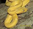 Křovinář ostnitý (Bothriechis schlegelli)