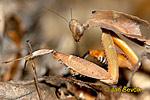 Kudlanka (Deroplatys dessicata)