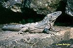 Leguán černý (Ctenosaura similis)