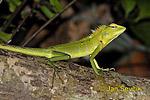 Lepoještěr zelený (Calotes calotes)
