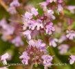 Mateřídouška vejčitá (Thymus pulegioides)