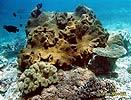Měkký korál (Coral)