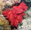 Měkký korál (Nephtheidae.)