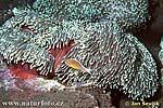 Mořská sasanka s klaunem (Sea Anemone)