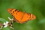 Motýl (Agraulis vanillae)