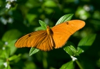 Motýl (Dryas iulia)