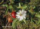 Mučenka (Passiflora sp.)