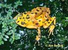Nosatka panamská (Atelopus zeteki)
