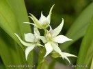 Orchidej (Encyclia fragrans.)