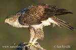 Orel jestřábí (Aquila fasciata)