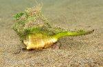 Ostranka jaderská (Bolinus brandaris)