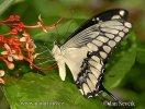 Otakárek (Papilio thoas)