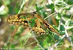 Otakárek (Papilionidae)