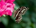 Otakárek citrusový (Papilio demodocus)