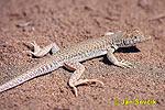 Paještěrka obecná (Acanthodactylus boskianus)