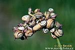 Pásmovka (Hygromiidea sp.)