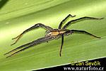 Pavouk (Cupiennius getazi)