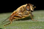 Pestřenka (Eristalis sp.)