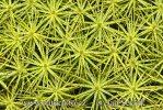 Ploník štíhlý (Polytrichum gracile)