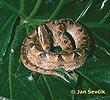 Ploskolebec plantážní (Agkistrodon rhodostoma)