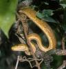 Psohlavec hnědý (Corallus ruschenbergerii)