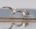 Racek bělohlavý (Larus cachinnans)