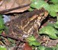 Ropucha indonéská (Ingerophrynus biporcatus)