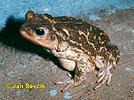 Ropucha síťkovaná (Peltophryne peltocephalus)