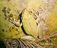Rosnička kubánská (Osteopilus septentrionalis)