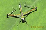 Saranče (Eumastacidae)