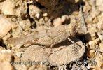 Saranče (Sphingonotus crevellarii)