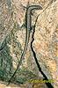 Scink (Mabuya macularia)