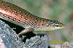 Scink - Mabuja (Mabuya multifasciata)