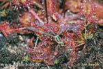 Šidélko na rosnatce (Lestes sp)