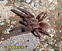 Sklípkan (Phormictopus sp.)