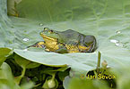 Skokan šestiprstý (Euphlyctis hexadactylus)