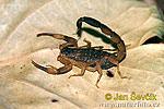 Škorpión (Lychas mucronatus)