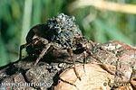 Slíďák (Pardosa sp)
