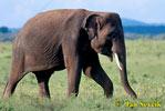 Slon indický (Elephas maximus)